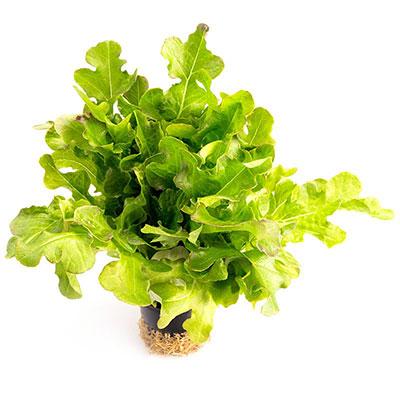 Tammenlehtisalaatti